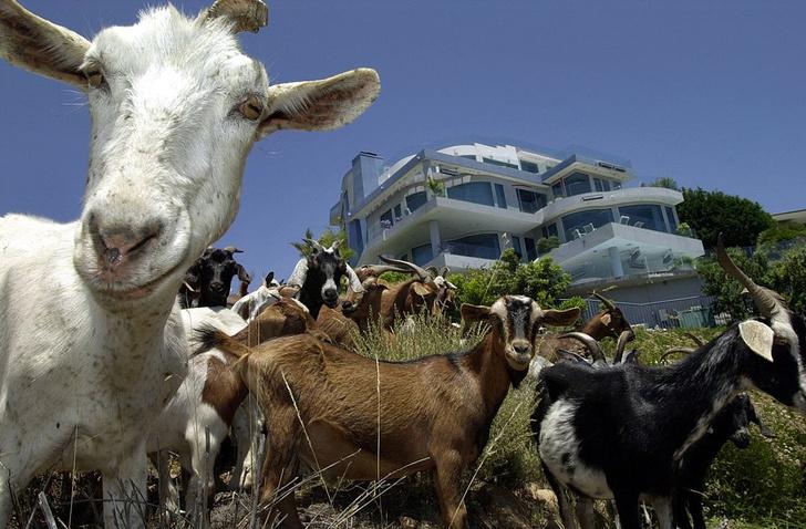 Фото №1 - Американский университет нанял на работу коз