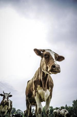 Фото №5 - К чему снится корова или бык: что говорят сонники и психологи