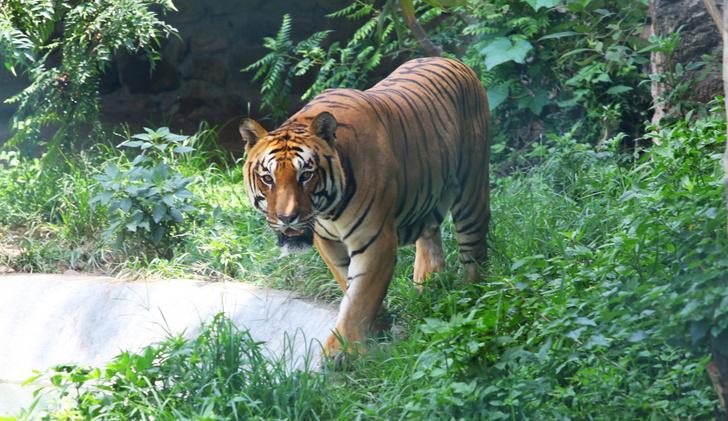 Фото №1 - Экологи рассказали о состоянии популяции бенгальских тигров