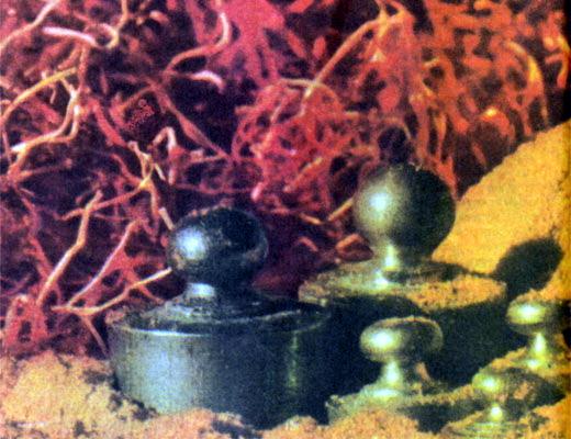 Фото №1 - Золотой шафран