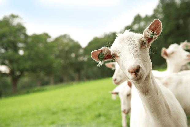 Фото №3 - Смесь на козьем молоке: какую лучше выбрать для новорожденного