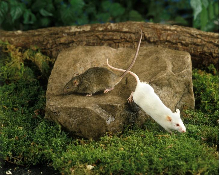 Фото №1 - Ученые впервые вылечили мышей от болезни Альцгеймера