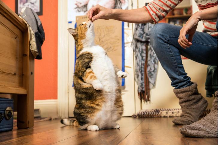 Фото №1 - Названа одна из причин ожирения кошек