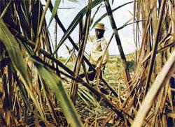 """Фото №2 - """"Бедные белые"""" острова Реюньон"""