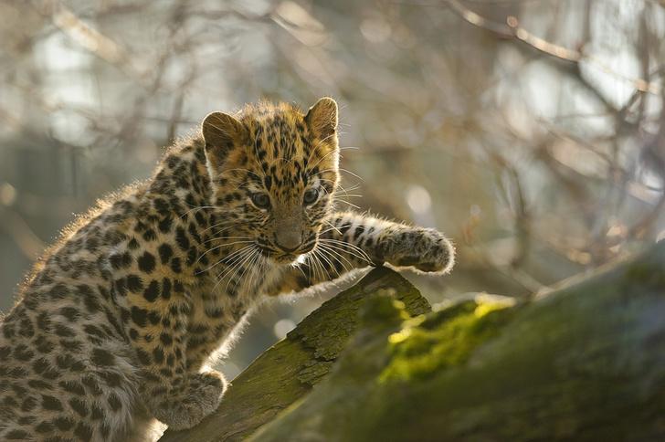 Фото №1 - У четы дальневосточных леопардов из британского парка родились детеныши