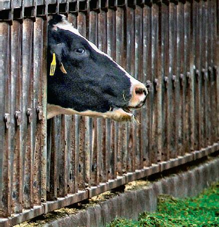 Фото №1 - Почему у коровы молоко выделяется постоянно?