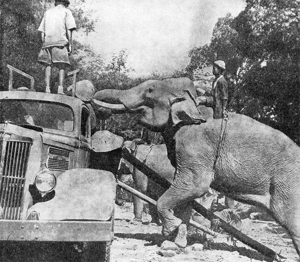 Фото №1 - Слоны на лесозаготовках