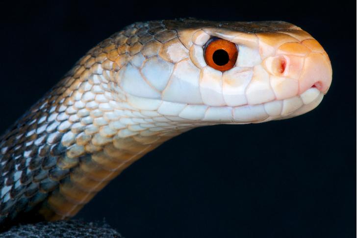 Фото №3 - Работа убивает: 5 герпетологов, которые не пережили укус змеи