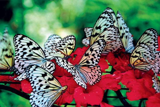 Фото №11 - Полет фантазии: репортаж с фермы бабочек в Малайзии