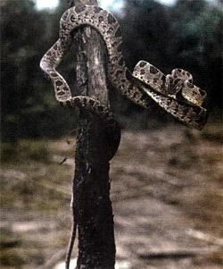 Фото №4 - Самострелы на звериной тропе