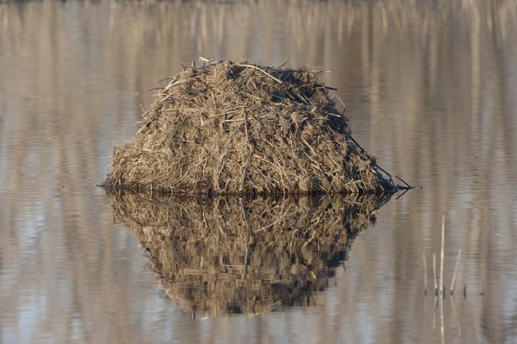 Фото №4 - Будни «американской переселенки»: как выживает в России шустрая ондатра