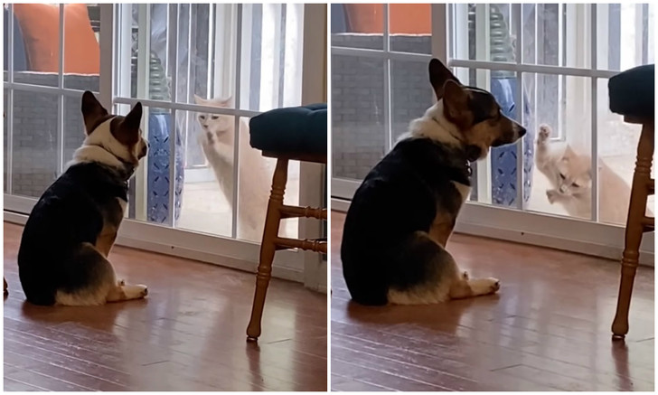 Фото №1 - Корги демонстративно не реагирует на попытки кошки открыть дверь (видео)