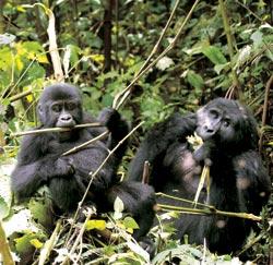 Фото №6 - Кинг Конги из дебрей Уганды