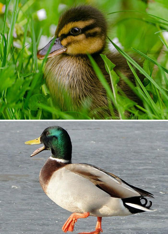 Фото №23 - 30 красивых птиц, которые были уродливыми птенцами (галерея)