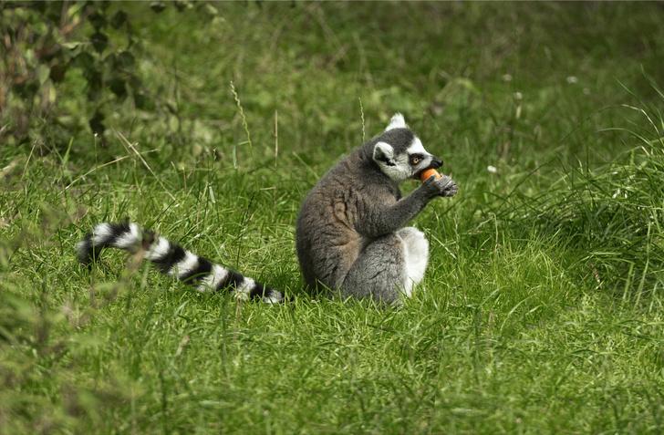 Фото №1 - Могут ли приматы искать пищу по запаху?