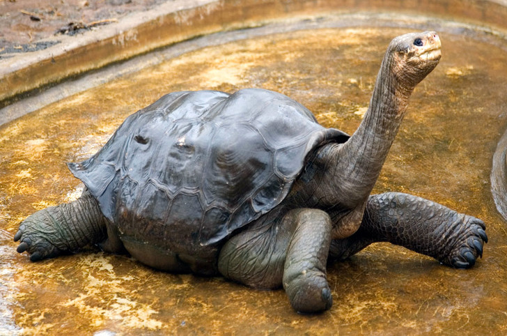 Фото №2 - Тише едешь— дольше будешь: долголетие и другие загадки гигантских черепах