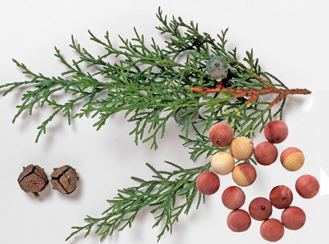 Фото №1 - Кедр и сандал: все о звездах древесных ароматов
