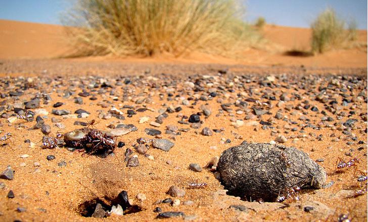 Фото №1 - Ученые выяснили, как муравьям удается выживать в Сахаре