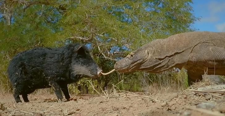Фото №1 - В свинью-робота поместили камеру и оставили на растерзание двум гигантским варанам. Вот что сняла камера (видео)