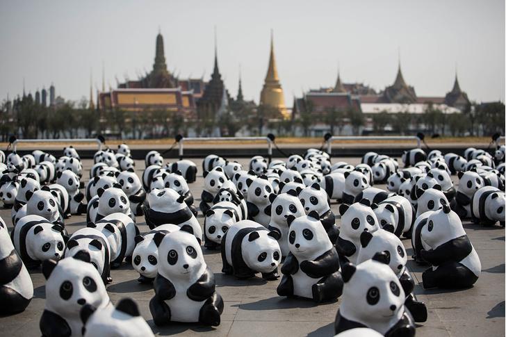 Фото №1 - Путешествующие панды