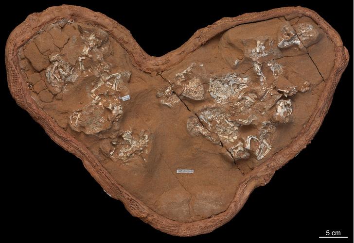 Фото №1 - Скорлупа яиц некоторых динозавров оказалась мягкой