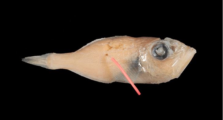Фото №1 - Ученые нашли рыбу, которая вынашивает потомство во рту