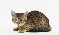 Необычное и красивое домашнее животное – леопардовая азиатская кошка.