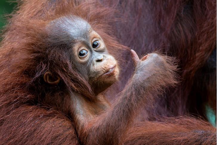 Фото №1 - Привет от орангутана