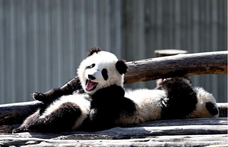 Фото №1 - День панды