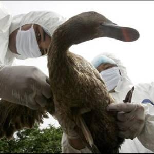 Фото №1 - Птичий грипп за 2 часа