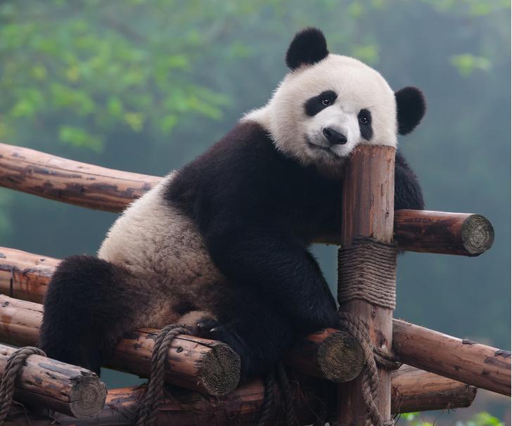 Фото №1 - У больших панд обнаружили уникальный слух