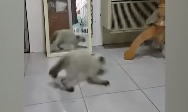 Фото №1 - Комичная реакция кошки, когда она видит себя в зеркале (видео)