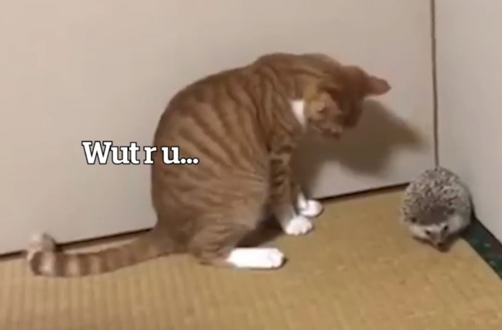 Фото №1 - Кот впервые в жизни видит ежа (видео)
