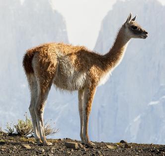 Фото №3 - Национальное достояние: священный верблюд инков