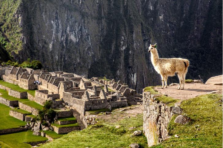 Фото №1 - Национальное достояние: священный верблюд инков