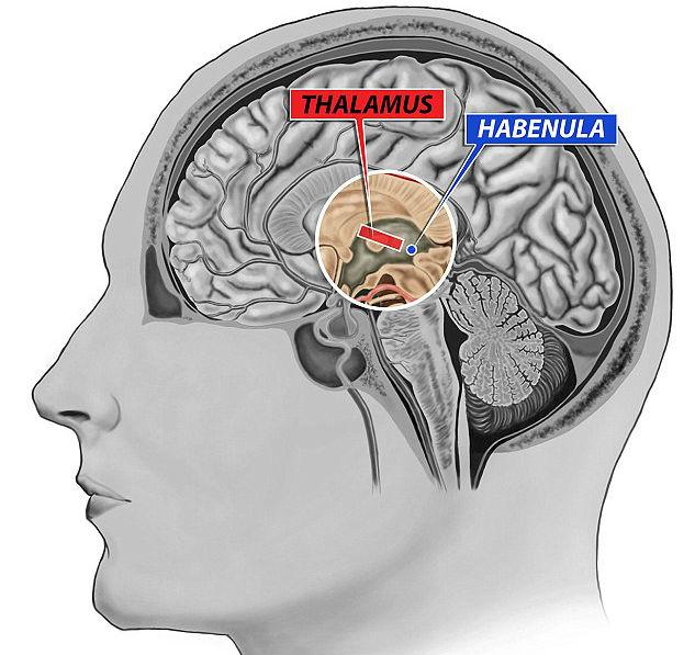 Фото №1 - Ученые обнаружили часть мозга отвечающую за мотивацию