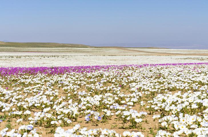 Фото №1 - Расцвело самое засушливое место на Земле