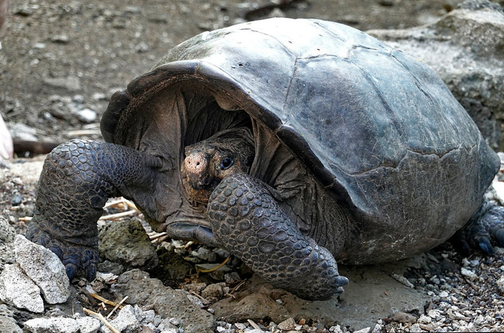 Фото №1 - На Галапагосе повторно открыли исчезнувший вид черепах