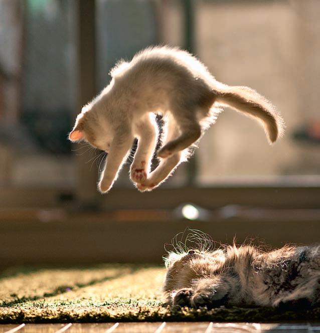 Фото №1 - Почему кошки всегда приземляются на лапы?