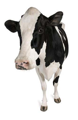 Фото №1 - Почему мясо коровы называется говядиной?