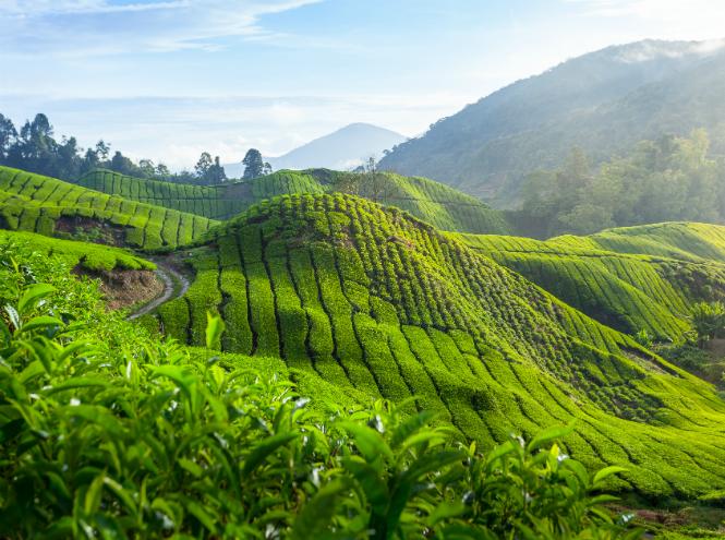 Фото №3 - Чайные плантации: как создается самый популярный напиток