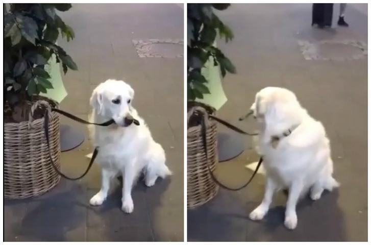 Фото №1 - Пес сам себя держит на привязи (видео)
