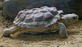 Фото №13 - Тише едешь— дольше будешь: долголетие и другие загадки гигантских черепах