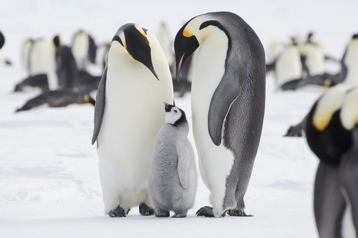 Фото №1 - Императорские пингвины оказались под угрозой полного уничтожения