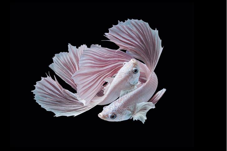 Фото №1 - Рыбы-модели