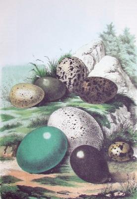 Фото №1 - Яйца куриных птиц