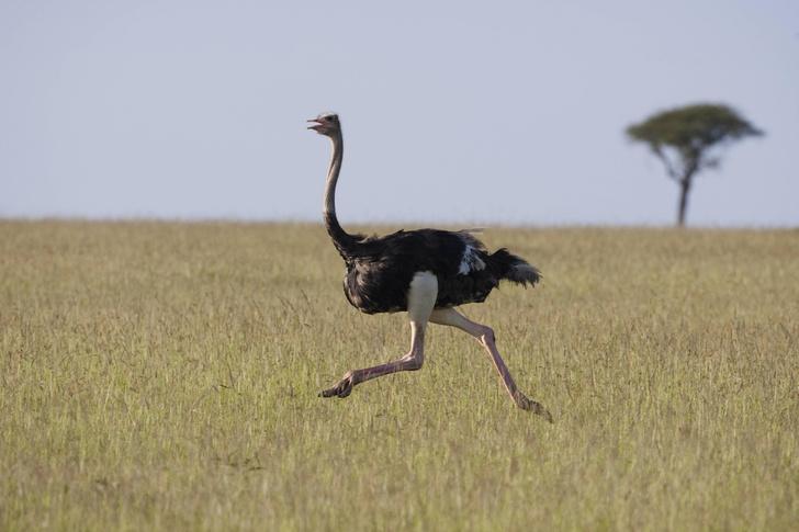 Фото №1 - Сила и сообразительность: правда и мифы о страусах