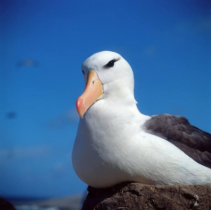 Фото №1 - Сотни альбатросов в США пострадали от мышей
