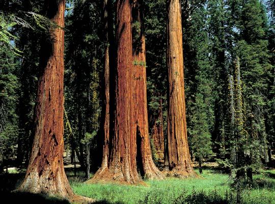 Фото №1 - Империя красного дерева