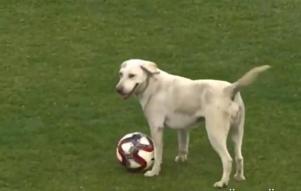 Фото №1 - Собака выскочила на футбольное поле и попыталась поучаствовать в игре (видео)